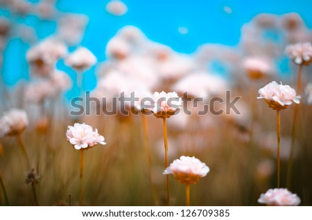 pink flowers in field/pink flowers/Portugal