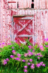 Pink flowers in front of old red barn. Facade of red old barn. Norway