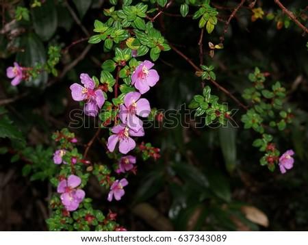 Pink flowers. Monochaetum vulcanicum , Melastomataceae. Costa Rica, Alajuela Province, Poas