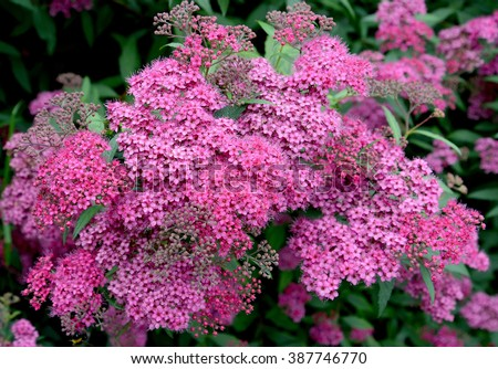 Pink flowers of a spirea Japanese (Spiraea japonica L.f.)