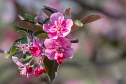 Pink flowers of an apple tree. Growth of buds and leaves in spring.