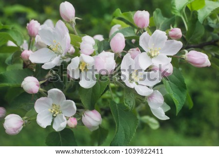 pink flowers of apple trees #1039822411