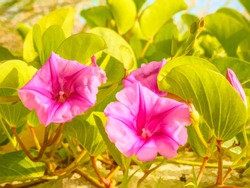Pink flowers of beach morning glory (Ipomoea res-capra), a creeping vine common to the tropics, on a sandy beach along the Gulf Coast in west central Florida, with digital painting effect