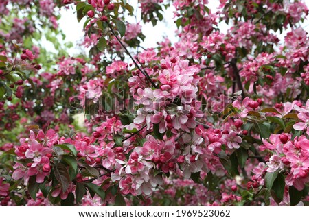 Pink flowers of blossoming apple-tree (grade 'Malus Rudolph') in spring garden in Moscow city, Russia. Seasonal blossom. Blooming apple-tree. Spring season. Photo of pink flowers. April, may bloom Stock photo ©