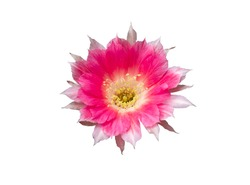 Pink flowers of Cactus, isolated with clipping path on white background