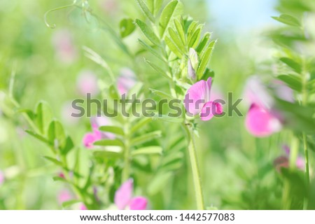 pink flowers of common vetch (vicia sativa)