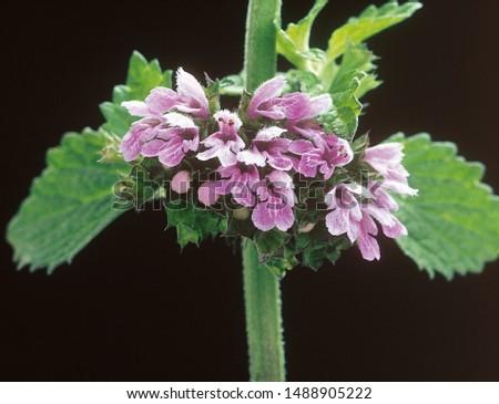 Pink flowers of Foetid Horehound