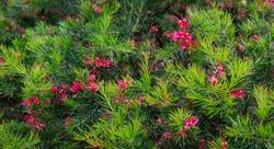 Pink flowers of Grevillea juniperina Canberra Gem and spiny leaves,  known as juniper-leaf grevillea or prickly spider-flower. Grevillea 'Canberra Gem' ( juniperina x rosmarinifolia) in Sochi