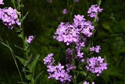 Pink flowers of Hesperis matronalis plant ,common names dame's rocket, dame's-wort,night-scented gilliflower, summer lilac. Dame's rocket in the spring, sunny garden. on soft focus background
