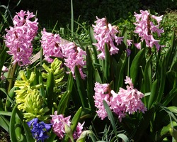 Pink flowers of hyacinth are blooming in garden