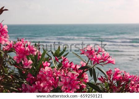 Pink flowers of oleander near the sea