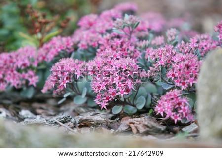 Free photos pink flowers of sedum causticola stonecrop a succulent pink flowers of sedum causticola stonecrop a succulent groundcover that flowers in summer and mightylinksfo