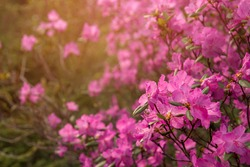 Pink flowers of Siberian rhododendron copy space. Rhododendron Ledebourii. Spring flowering of Altai rhododendron.