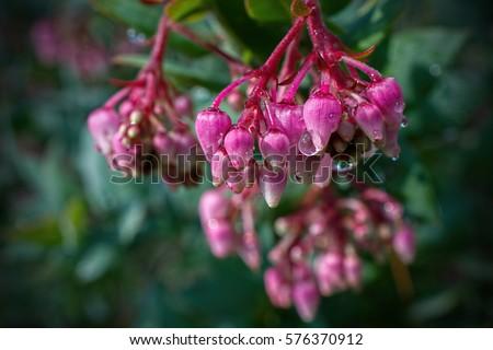 Pink flowers of the Manzanita, Arctostaphylos manzanita,  in nature in California #576370912
