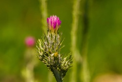 Pink flowers of thistle. Close-up. The thorny plant blooms in spring. Spring awakening of nature. Fresh greens. Blooming prickly weed. Spring flowering. Greens