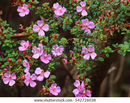 Pink flowers on a background of green leaves. Monochaetum vulcanicum , Melastomataceae. Costa Rica, Alajuela Province, Poas