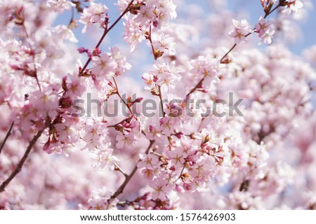 Pink flowers on a tree. Stock photo ©