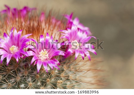 Pink flowers on cactus at green background