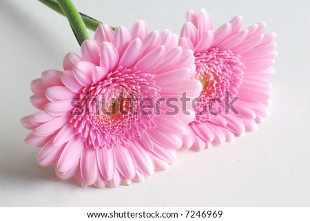 pink flowers background. stock photo : pink flowers on