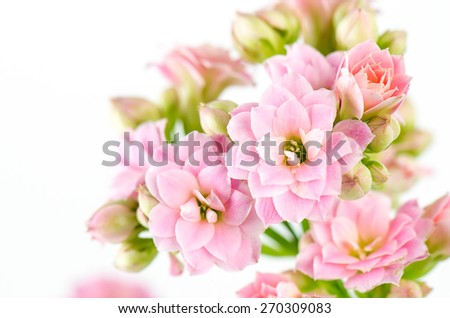 Pink flowers on white background, Kalanchoe blossfeldiana.