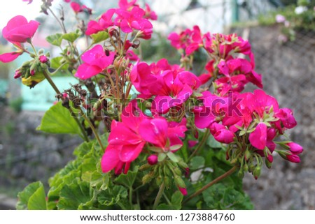 Pink flowers pic