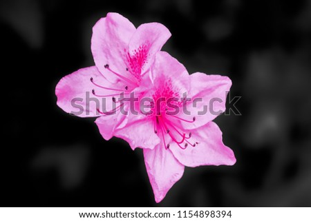 pink flowers that bloom in darkness