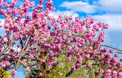 Pink flowers tree in spring. Spring blooming pink flowers tree. Spring trees pink flowers branches