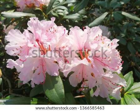 Pink Flowers with blur background.Pink cherry blossom.Flowers art for background.Beautiful cherry blossom. Cherry blossom in spring.Isolated cherry blossom.