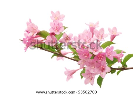 Pink flowers with fresh green leaves,isolated on white.