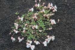 Pink flowers with green leaves grow on volcanic lava in Iceland