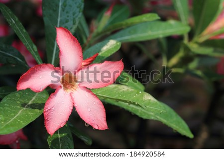 pink flowers with water drops on petal, desert rose flowers