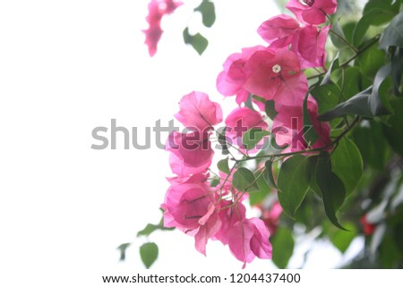 Pink flowers with white sky background in daytime and free space for natural backgrounds and wallpapers. #1204437400