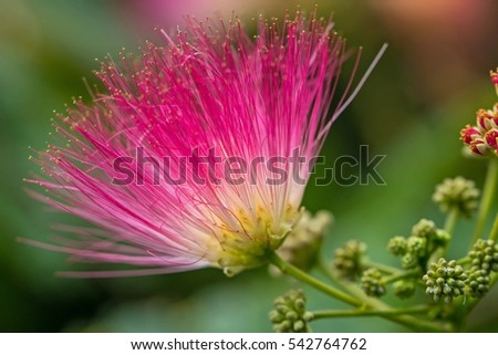 Free Photos Pink Fluffy Flowers On Blooming Albizia Julibrissin