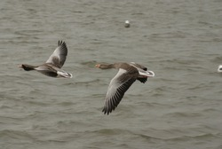 Pink footed geese graciously flying over a pond in Reykjavik, Iceland.