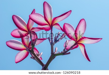 Pink Frangipani flowers against blue sky in the sunshine day