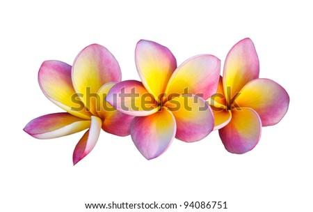 Pink Frangipani Flowers isolated on white background