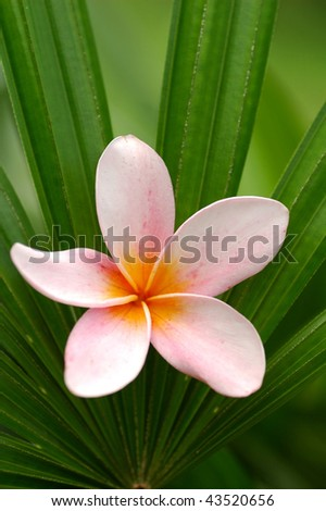 Pink frangipani on palm leaf