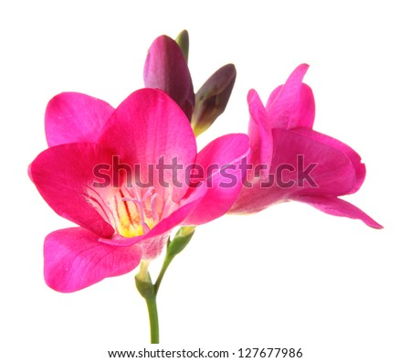 Pink freesia flower isolated on white ez canvas pink freesia flower isolated on white mightylinksfo