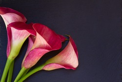 Pink fresh  calla lilly flowers on black  background
