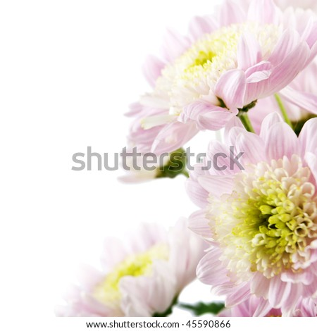 pink fresh golden-daisies (chrysanthemum) isolated on a white background. More isolated flowers you may see in my portfolio