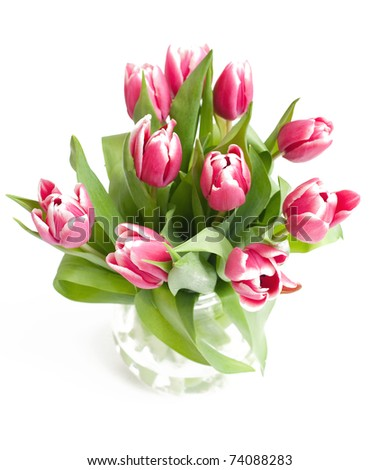 pink fresh tulips on white background