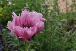 Pink frilly poppy taken in a garden in Yorkshire, UK in July 2019