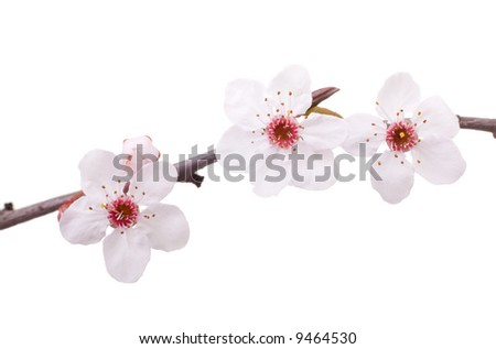 pink fruit-tree flowers isolated on white