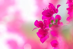 Pink Fuchsia Flower, Nature, Beautiful Bokeh Background