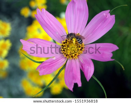 Pink garden cosmos (cosmos bipinnatus flower), aka Mexican aster with bee pollinating its center. Taken early July in the Balkans (Europe). Natural bacgkround,