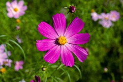 Pink garden flower of Cosmea. Close-up of flower in a Summer garden.