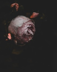Pink garden rose on a black background, with some buds visible, moody and somber look