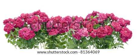 Pink garden roses border collage isolated #81364069