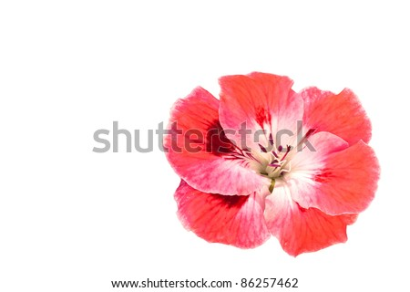 Pink Geranium Flower Isolated on White Copy Space