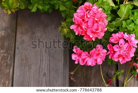 Pink geranium in summer garden on old wooden stairs background.Ivy-leaf pelargonium.Geranium Peltatum. Decorative plants. - Shutterstock ID 778643788